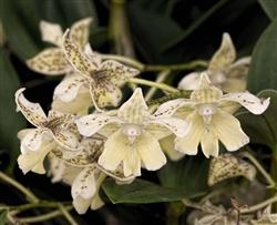 Dendrobium Nano Chip